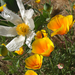 Poppies and White Flower