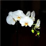 Orchid Elegance II
