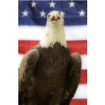 Great Bald Eagle #1