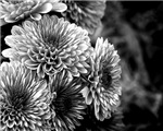 Grayscale Mums
