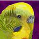 Parakeet Gifts