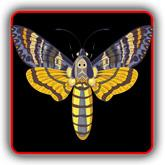 Death's Head Moth T-Shirts