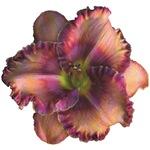 Rose w/ Violet Eye Daylily