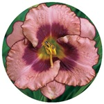 Daring Deception Daylily