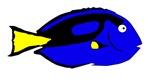 Blue Hepatus Tang Fish