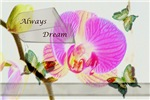 Always Dream Orchid and Butterflies
