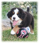 Soccer Bernese Puppy