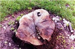 Wet tree stump - Office, Pets and auto section