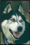 Siberian Husky Photograph Unique Gifts Items