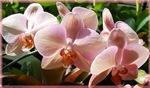 Pink Orchids! Beautiful Photo!