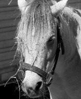 Shetland Pony Gifts