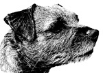 New! Border Terrier drawing