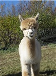 Everything Alpaca: orchardviewalpacas.com
