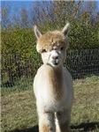 Everything Alpaca: orchardviewalpacas.com