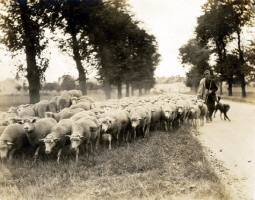 1921 French Shepherd