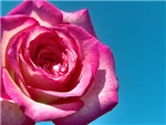 Mauve Rose Close-up