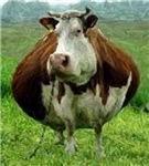 Plump Cow