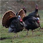 Four Gobblers