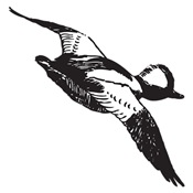 Bufflehead Sketch
