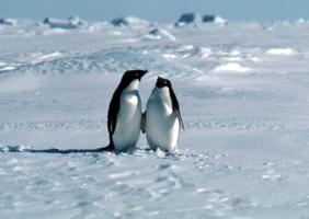 Penguin - A Pair of Adelies on sea-ice