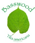Basswood Leaf 1