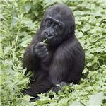 Relaxing Young Gorilla