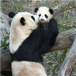 Mom and Baby Giant Pandas