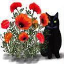 Red poppies, black cat