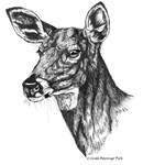 Doe Drawing