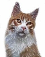 Maine Coon Red Tabby Boy