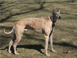 Light Brindle Greyhound