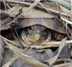 Camo Box Turtle