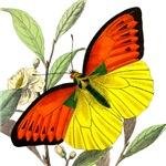 WILD ORANGE BUTTERFLY