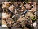 Blue Autumn Dragonfly