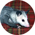 Possum on Plaid