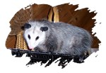 Possum on a Shelf