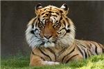 SIBERIAN TIGER WATCHING YOU