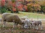 Fall Sheep Group