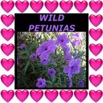 Wild Petunias