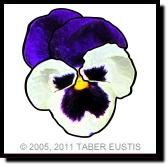 GREAT BIG PANSY