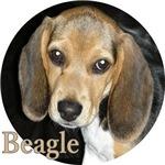 Puppy Beagle Close Up