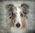 Simply Blue Sheltie