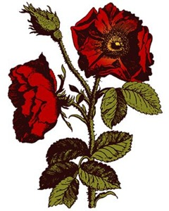 Antique Rose