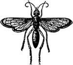 Tarantula Killer Insect