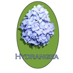 <h2>HYDRANGEA<h2/>