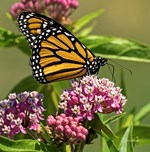 Monarch on Milkweed Collection