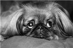 Dog - Pekingese #1
