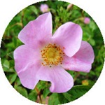 California Wild Rose