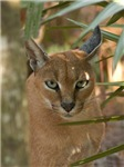 Caracal Lynx Buttons & Magnets