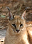 Caracal Lynx Short-Sleeved Shirts